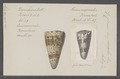 Conus imperialis - - Print - Iconographia Zoologica - Special Collections University of Amsterdam - UBAINV0274 086 01 0018.tif