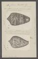 Conus textile - - Print - Iconographia Zoologica - Special Collections University of Amsterdam - UBAINV0274 085 10 0115.tif