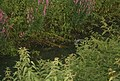 Coots in the creek (2007).jpg