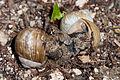 Copulating roman snails Helix pomatia (9003235044).jpg