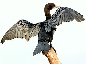 Cormorant - Wing-drying behaviour