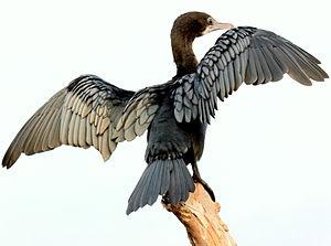 Cormorant - Wing-drying behaviour
