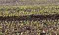 Corn shoots - Mısır filizleri 02.jpg