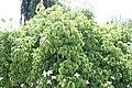 Cornus kousa Lustgarten Weeping 3zz.jpg