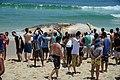 Corpo de baleia encalhada na Praia do Arpoador, no Rio (26663171669).jpg