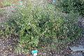 Correa pulchella - San Luis Obispo Botanical Garden - DSC05906.JPG