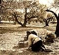 Corse cueillette des olives.jpg