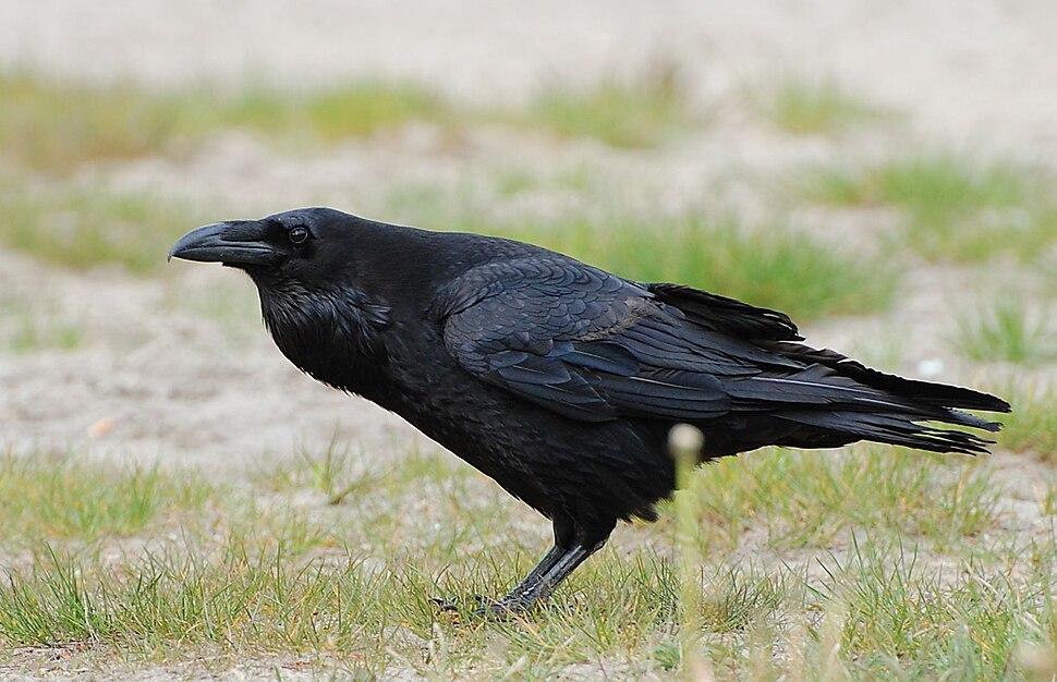 Corvus corax ad berlin 090516