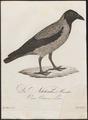 Corvus cornix - 1800-1812 - Print - Iconographia Zoologica - Special Collections University of Amsterdam - UBA01 IZ15700229.tif