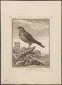 Corvus monedula - 1700-1880 - Print - Iconographia Zoologica - Special Collections University of Amsterdam - UBA01 IZ15700259.tif