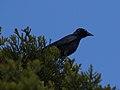 Corvus orru (35363407705).jpg