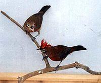 Coryphospingus cucullatus