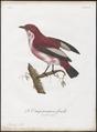 Cotinga pompadora - 1801 - Print - Iconographia Zoologica - Special Collections University of Amsterdam - UBA01 IZ16600101.tif
