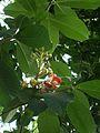 Couroupita guianensis (2).jpg