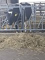 Cow in pen (3).jpg
