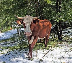 Cow on snowy ground 2.jpg