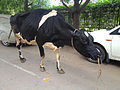 Cow with strings in nostril, Bangalore.jpg