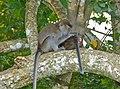 Crab-eating Macaques (Macaca fascicularis) grooming (15578459618).jpg
