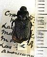 Cremastocheilus knochii LeConte 1853.jpg
