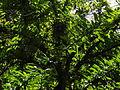Crescentia cujete Linnaeus La Lagunita 2013 001.JPG