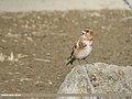 Crimson-winged Finch (Rhodopechys sanguineus) (46134117675).jpg