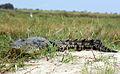 Crocodile crocodylus niloticus.jpg