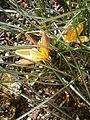 Crocus angustifolius 03.JPG