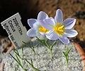 Crocus biflorus adamii BotGardMunich 20170225 D.jpg