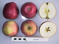 Cross section of Atalanta (Netherlands), National Fruit Collection (acc. 1955-013).jpg