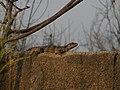 Ctenosaura Similis (3779271615).jpg