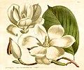 Curtis Bot Mag 39 T1621 Magnolia conspicua.jpg