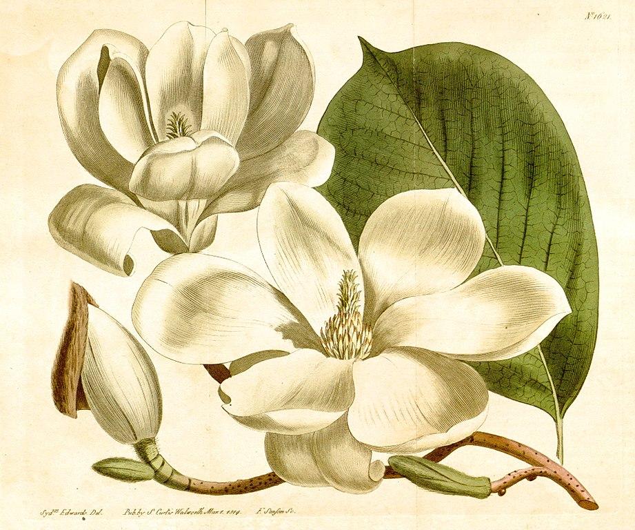 Dessin botanique d'un Magnolia conspicua Salisb. (1814)