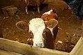 Cute calf (5111452055).jpg
