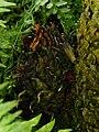 Cycas circinalis - detail (2).JPG