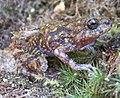 Cycloramphus eleutherodactylus02.jpg