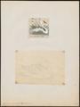 Cygnus immutabilis - 1700-1880 - Print - Iconographia Zoologica - Special Collections University of Amsterdam - UBA01 IZ17600227.tif