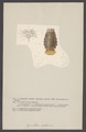 Cymothoa oestrum - - Print - Iconographia Zoologica - Special Collections University of Amsterdam - UBAINV0274 006 03 0052.tif