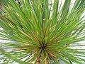Cyperus papyrus 21zz.jpg