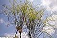 Cyperus papyrus 9zz.jpg
