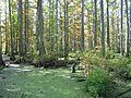 Cypres Bog - Flickr - GregTheBusker.jpg