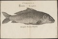 Cyprinus carpio - 1726 - Print - Iconographia Zoologica - Special Collections University of Amsterdam - UBA01 IZ15000027.tif