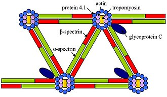 EPB41 - A schematic diagram representing the relationships between cytoskeletal molecules as relevant to hereditary elliptocytosis.