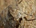 DIchoptera EG2.jpg
