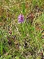 Dactylorhiza fuchsii 41.jpg