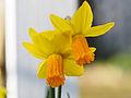 Daffodils on St. David's day (12867292913).jpg