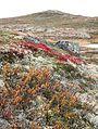 Dagalifjell Sigridfjell IMG 1421 Betula nana.JPG