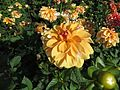 Dahlia 'Bahamas Apricot' 02.JPG