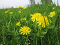 Dandelion Meadow (32808839).jpeg