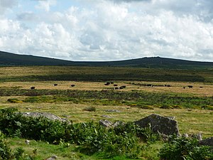 English: Dartmoor National Park : Cows & Moorland