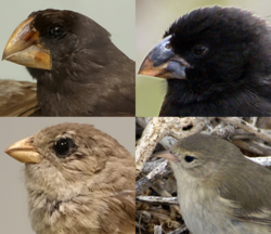 Darwin's finches.png